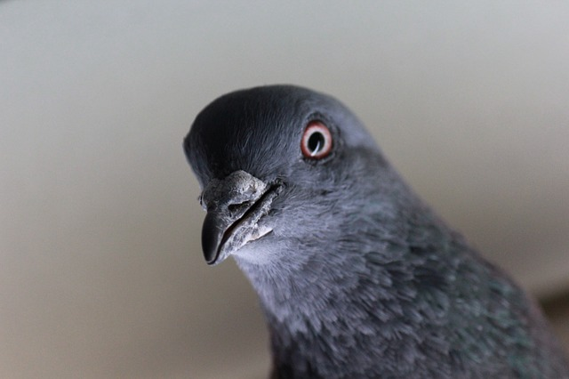 kolce na gołębie