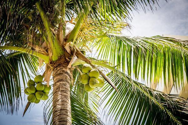 palmy kokosowe sztuczne